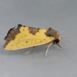 9785 Yellow Sunflower Moth – Stiria rugifrons