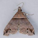 8393  Ambiguous Moth - Lascoria ambigualis