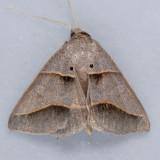 8750  Common Ptichodis - Ptichodis herbarum