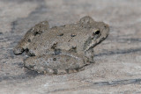 Blanchard's Cricket Frog ?
