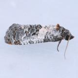 3839  Black-tipped Rudenia – Rudenia leguminana