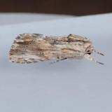 9672  Southern Armyworm – Spodoptera eridania