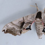 7821 Twin-spotted Sphinx - Smerinthus jamaicensis
