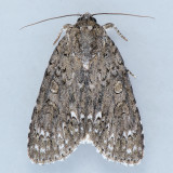 9257 Yellow-haired Dagger – Acronicta impleta
