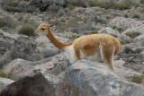 Altiplano - Vicuna