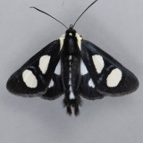 9314 Eight-spotted Forester - Alypia octomaculata
