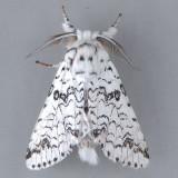 7942 Black-etched Prominent - Cerura scitiscripta
