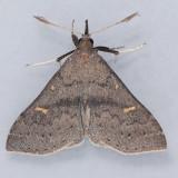 8386   Speckled Renia Moth - Renia adspergillus