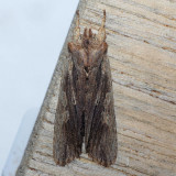 9893  Hemina Pinion Moth - Lithophane hemina