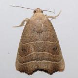 9168   Paler Bagisara Moth - Bagisara repanda