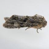 10021 Grote's Sallow  - Copivaleria grotei