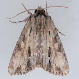 10519 Gray Woodgrain Moth - Morrisonia mucens