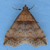 8338 Dark-banded Owlet - Phalaenophana pyramusalis