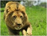 Lion Gweru, Zimbabwe