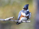 Belted Kingfisher with an Attitude