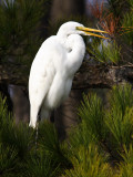 Great Egret Saying Hello