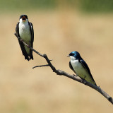 Tree Swallow Saying Hello