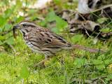 Song Sparrow Having Lunch