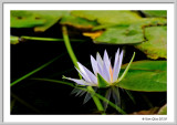 Water lily in front of  the Egyptian Museum