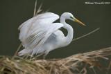 Airone bianco maggiore (Casmerodius albus )
