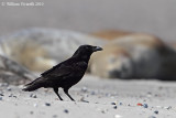 Cornacchia (Corvus corone)