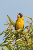 Zìgolo capinero (Emberiza melanocephala)