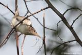 Canapìno levantìno (Hippolais olivetorum)
