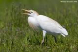 Airóne guardabuòi  (Bubulcus ibis)