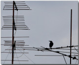 Urban Crow - watching TV :-)