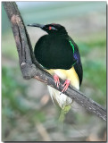 12-wired Bird of Paradise - Male