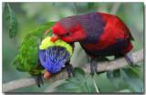 Raindow & Violet-necked Lories - Grooming