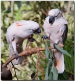 Salmon-crested Cockatoo - sharing