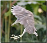 Striated (Little) Heron - Landing