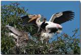 Painted Stork Rookery - Adults & chicks