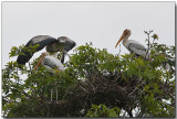 Painted Stork Rookery - An early flight for chick