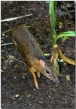 Lesser Mousedeer - adult