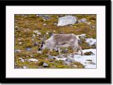 Juvenile Reindeer