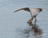 Reddish Egret nt.3980.jpg