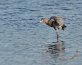 Reddish Egret Fluffy  nt 5505.jpg