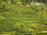 Munnar tea fields.jpg