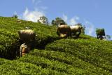 Tea carriers 1.jpg