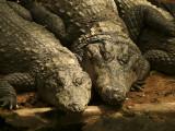 Croc 1.jpg