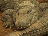 Croc asleep.jpg
