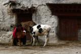 Tending the cattle web.jpg