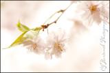 20100416-6182-Cherry Blossom.jpg
