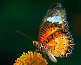 butterfly-006931.jpg