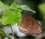 Jard. Bota. Papillons