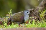 Bronze Ground Dove (M)