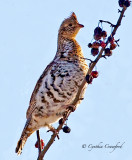Ruffed Grouse in a Tree eating fruit