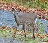 Doe Fall Visit With Her fawns
